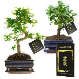 Set van 2 bonsaiboompjes