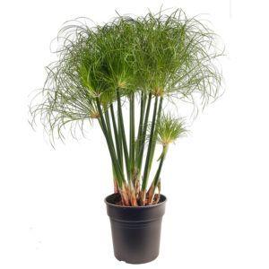 Ecoworld Cyperus Papyrus Nofretete in taupekleurige waterpot voor een eenvoudige verzorging