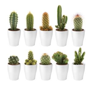 Mix van 10 cactussen met witte potjes