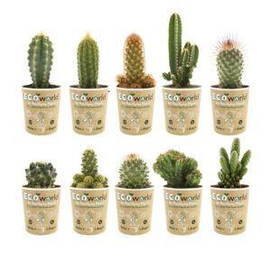 Mix van 10 verschillende cactussen