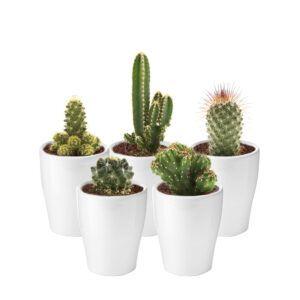 Mix van 5 mini cactussen in witte sierpotjes