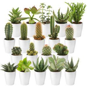 Mix van 20 cactussen en succulenten met witte potjes