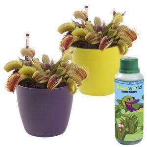2 Venus Vliegenvallen (Dionaea Muscipula) inclusief gekleurde sierpotten